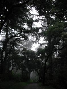 Promenons-nous dans les bois (15 septembre 2011) - Prise en Californie, une forêt dont les arbres immenses sont couverts de lichens, et une brume de conte de fées un peu sombre...
