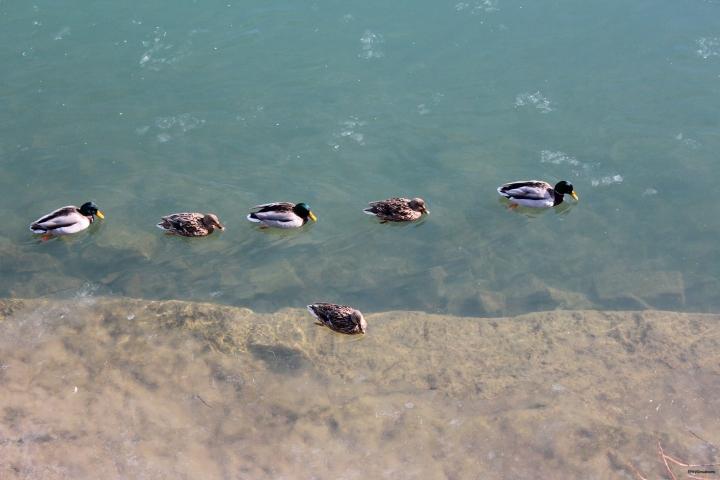 Canards sur eau glacée