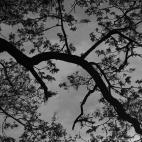 Rien de plus concret qu'un arbre, et pourtant il suffit parfois de le regarder sous un autre angle pour oublier les repères habituels, tronc, feuilles, branches, et ne plus voir que des formes abstraites, des lignes et des régularités...